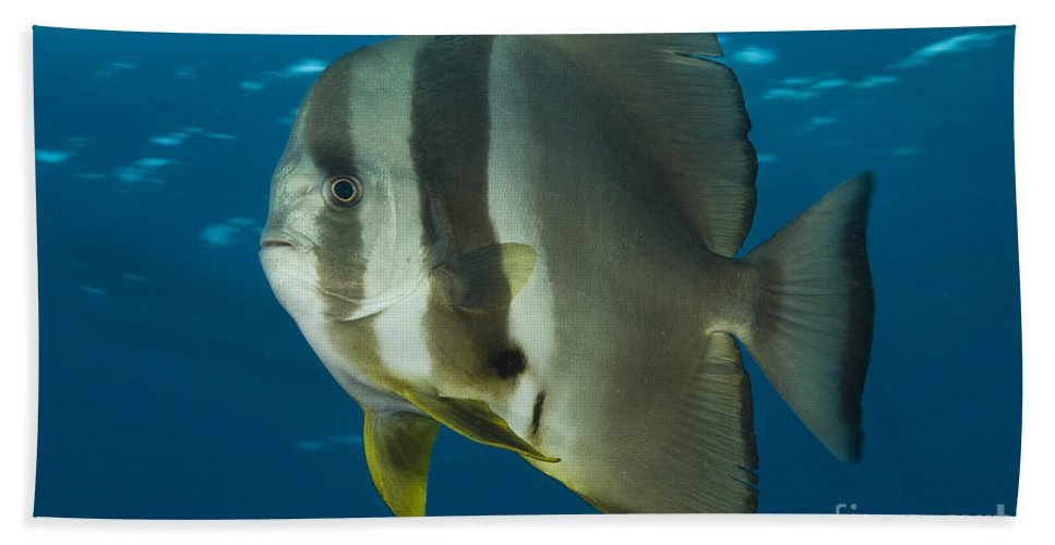 Ephippidae Bath Sheet featuring the photograph Longfin Spadefish, Papua New Guinea by Steve Jones