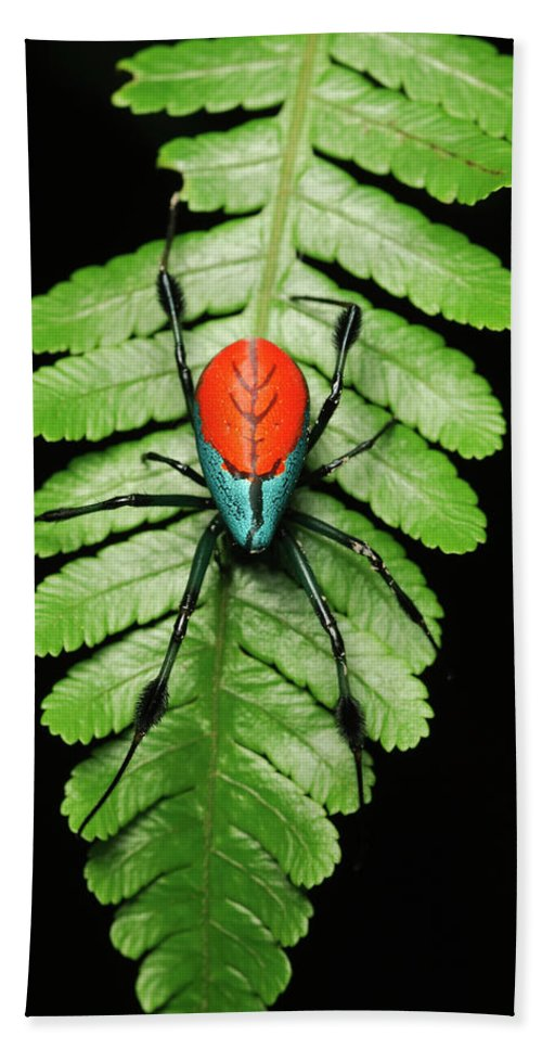 Mp Hand Towel featuring the photograph Longjawed Orb Weaver Opadometa Sp by Ch'ien Lee