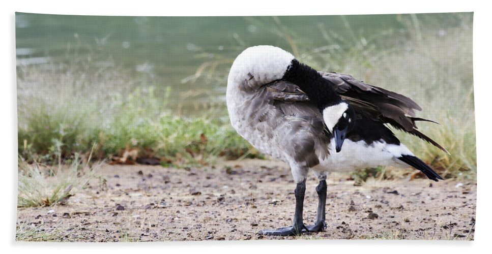 Canadian Goose Bath Sheet featuring the photograph Looking Back by Douglas Barnard