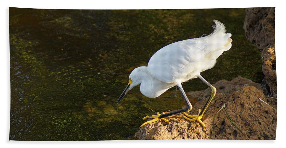 Bird Bath Sheet featuring the photograph Looking For Dinner by Alan Hutchins
