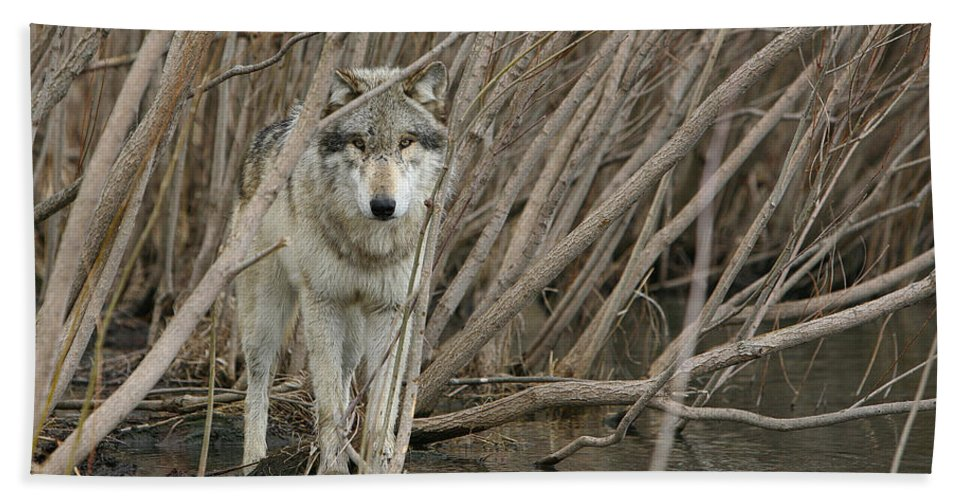 Wolf Hand Towel featuring the photograph Looking Wild by Shari Jardina
