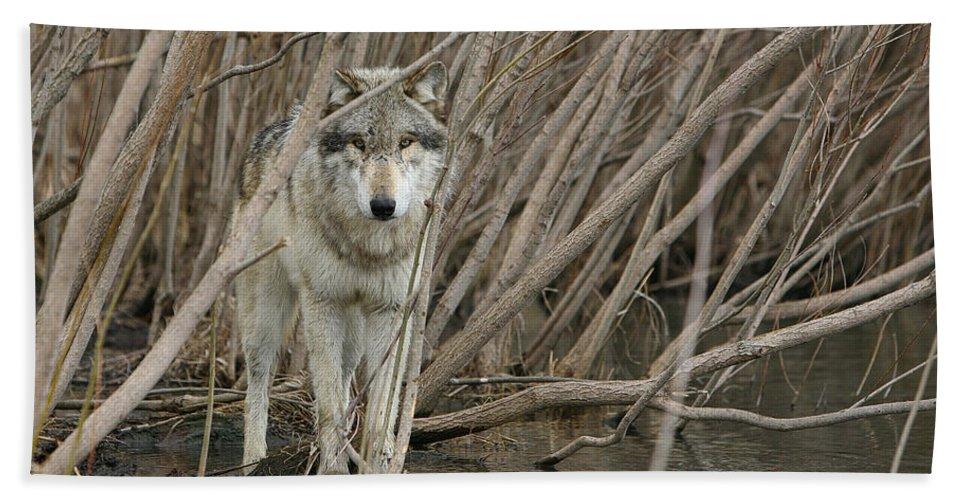 Wolf Bath Sheet featuring the photograph Looking Wild by Shari Jardina