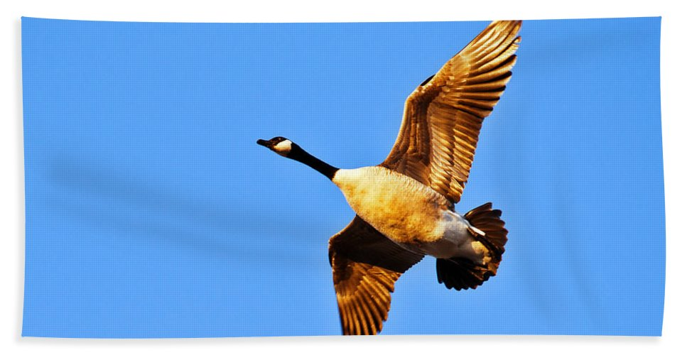 Canda Goose Bath Sheet featuring the photograph Low Flight by Edward Peterson