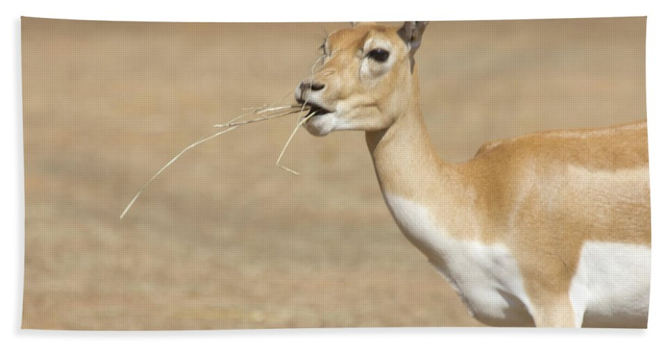 Impala Hand Towel featuring the photograph Lunchtime by Douglas Barnard