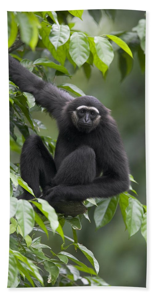 Mp Hand Towel featuring the photograph M�llers Bornean Gibbon Hylobates by Cyril Ruoso