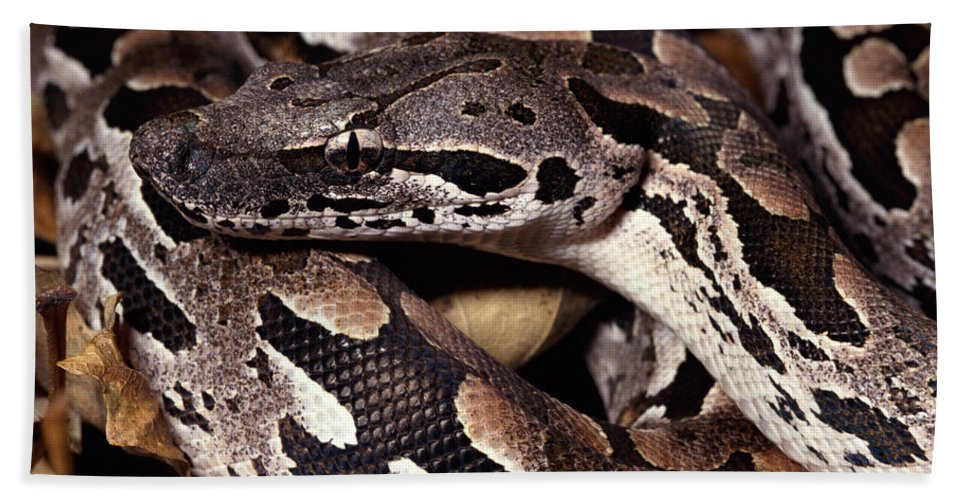 Mp Hand Towel featuring the photograph Madagascar Ground Boa Acrantophis by Michael & Patricia Fogden