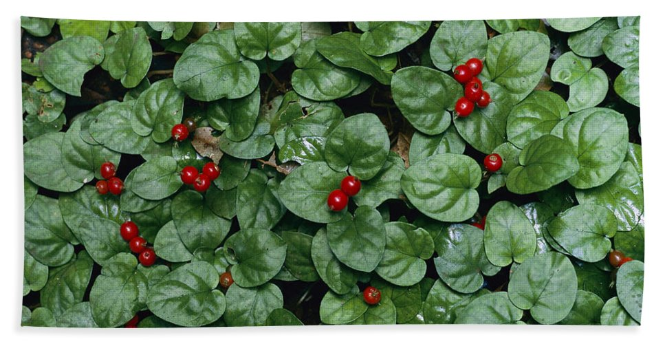 Mp Hand Towel featuring the photograph Madder Geophila Repens Fruiting by Christian Ziegler