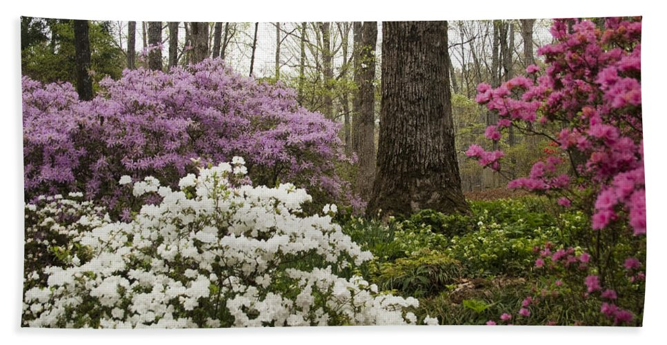 Azalea Bath Sheet featuring the photograph Magical Azaleas At Callaway Botanical Gardens by Kathy Clark