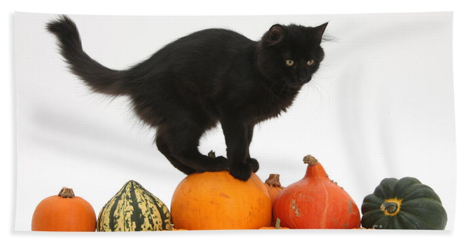 Nature Hand Towel featuring the photograph Maine Coon Kitten On Halloween Pumpkins by Mark Taylor