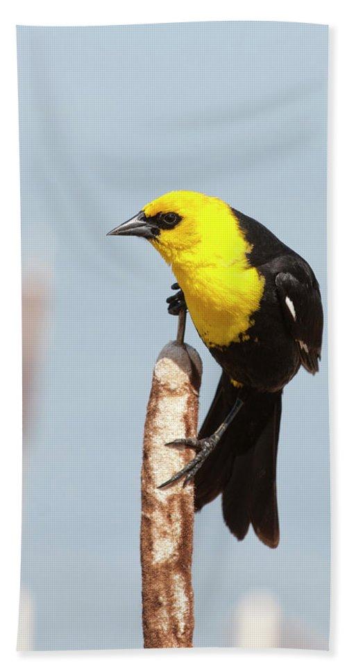Alberta Bath Sheet featuring the photograph Male Yellow-headed Blackbird by Roderick Bley