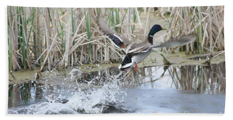 Mallard Bath Sheet featuring the photograph Mallard Duck Flying by Lori Tordsen