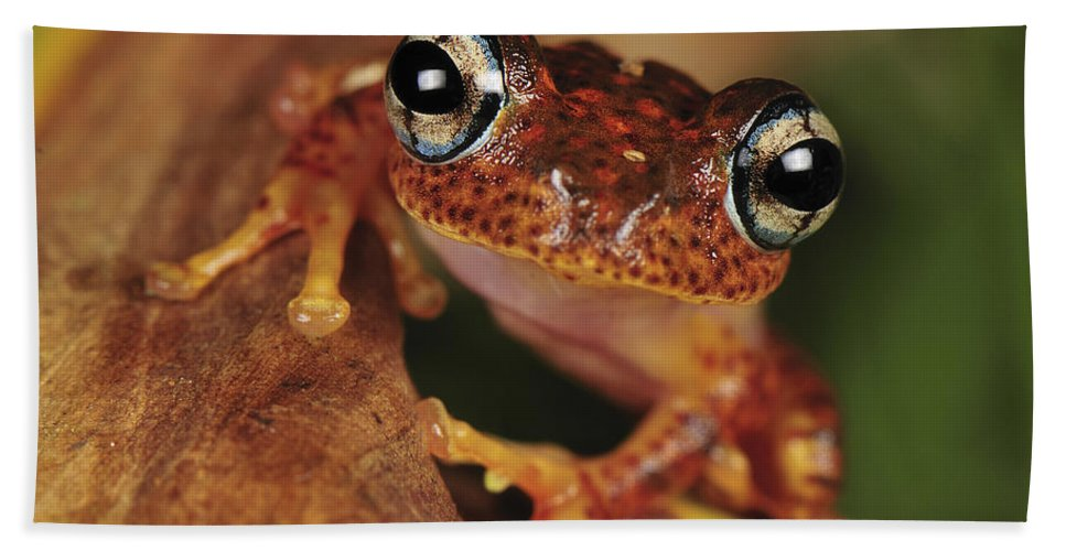 Mp Hand Towel featuring the photograph Mantellid Frog Boophis Tephraeomystax by Thomas Marent