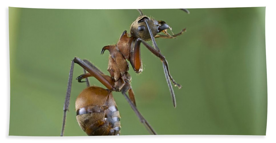 Mp Hand Towel featuring the photograph Marauder Ant Polyrhachis Sp Cleaning by Piotr Naskrecki