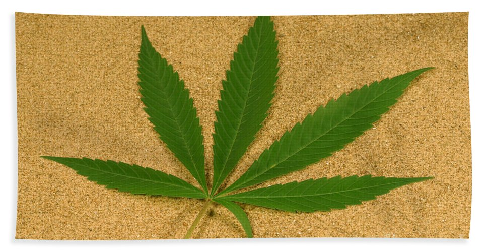 Plant Hand Towel featuring the photograph Marijuana Leaf by Ford McCann