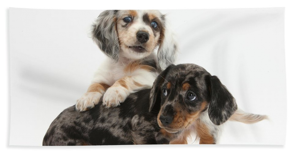 Animal Hand Towel featuring the photograph Merle Dachshund Pups by Mark Taylor
