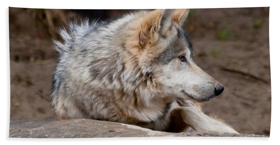 Animals Bath Sheet featuring the photograph Mexican Wolf by Keith Allen
