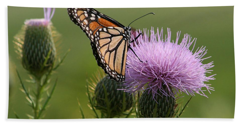 Danaus Plexippus Bath Sheet featuring the photograph Monarch Butterfly On Bull Thistle Wildflowers by Kathy Clark