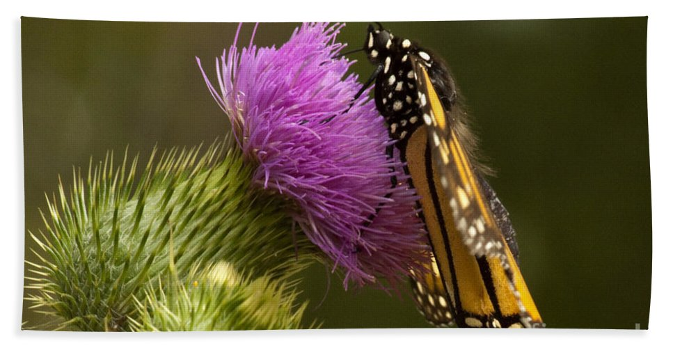 Monarch Bath Sheet featuring the photograph Monarch Thistle Munching by Darleen Stry