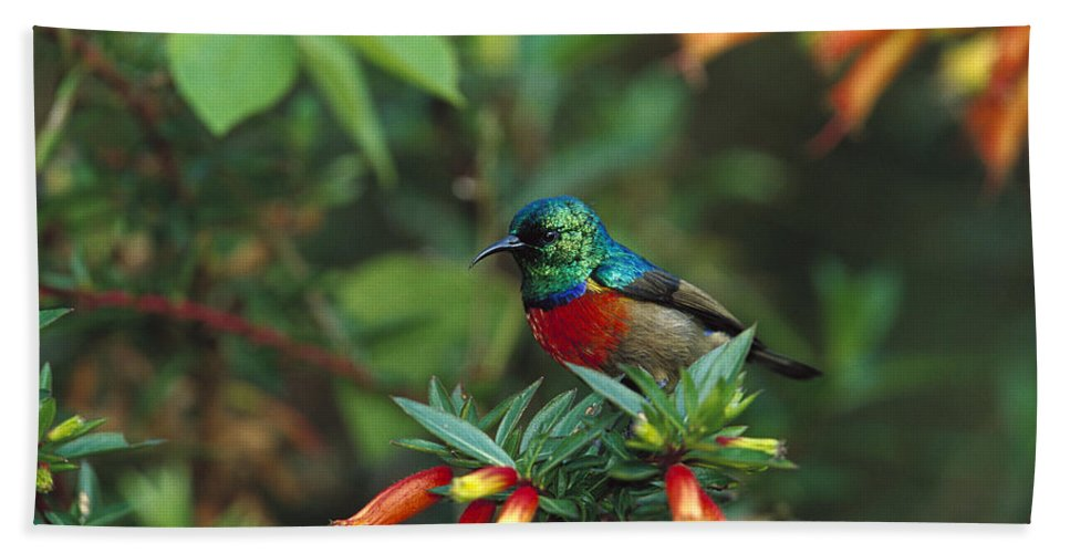 Mp Hand Towel featuring the photograph Montane Double-collared Sunbird by Cyril Ruoso