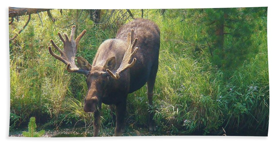 Moose Bath Sheet featuring the photograph Moose Is Loose by Michael MacGregor