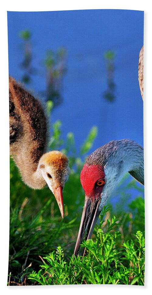 Mother Hand Towel featuring the photograph Mother And Young Sandhill Crane by Bill Dodsworth