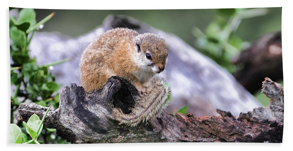 Squirrel Bath Sheet featuring the photograph My Elevated Perch by Douglas Barnard