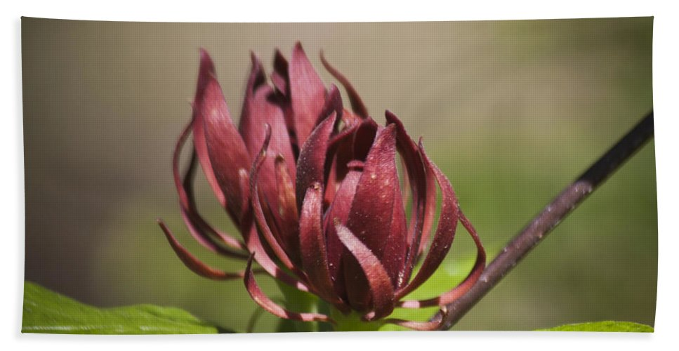 Calycanthus Hand Towel featuring the photograph Native Sweetshrub by Teresa Mucha