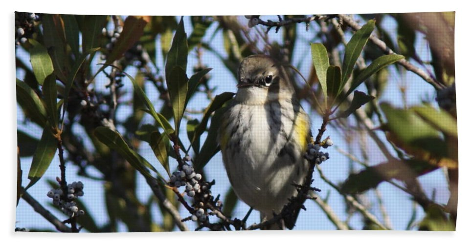 Pine Warbler Bath Sheet featuring the photograph Never Hungry by Travis Truelove