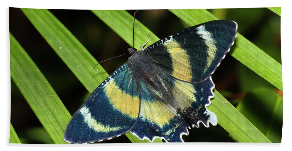 Mp Hand Towel featuring the photograph North Queensland Day Moth Alcides by Konrad Wothe