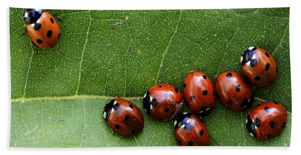 Ladybugs Bath Sheet featuring the photograph One Lady Bug Voted Off The Island by Bob Christopher