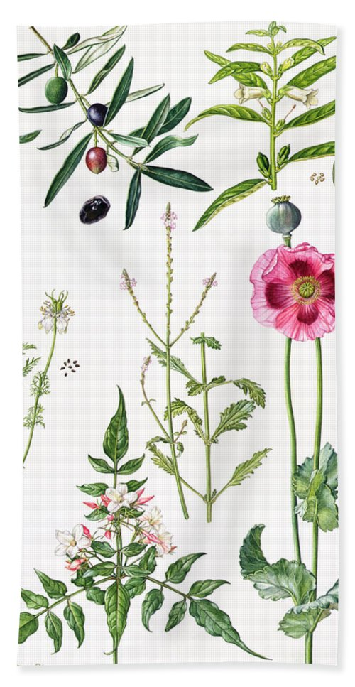 Sesame; Black; Cumin; Olive; Vervain; White; Jasmine; Herb; Botanical; Herbs; Opium Poppy; Olives; Leaf; Leafs; Flower; Flowering Bath Towel featuring the painting Opium Poppy And Other Plants by Elizabeth Rice