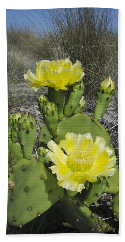Mp Hand Towel featuring the photograph Opuntia Opuntia Sp Cactus Flowering by Pete Oxford