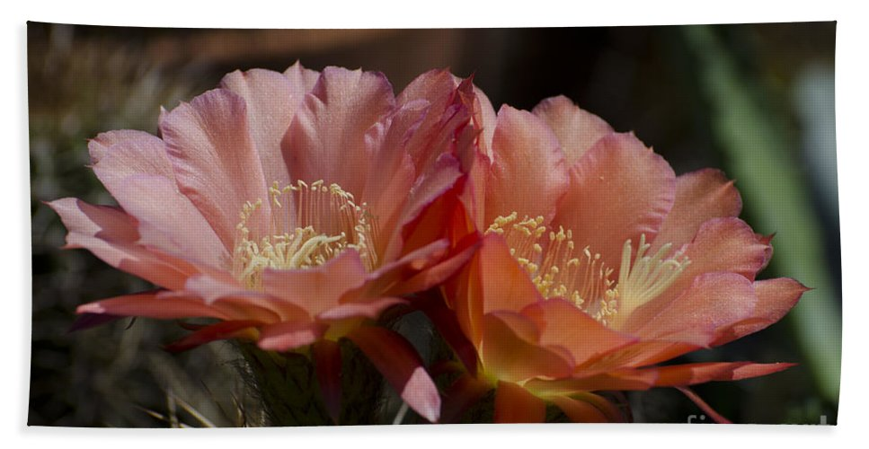 Cactus Hand Towel featuring the photograph Orange Cactus Flowers by Jim And Emily Bush
