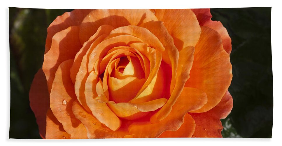 Orange Rose Bath Sheet featuring the photograph Orange Rose 3 by Steve Purnell
