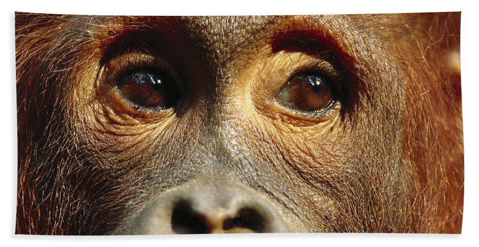 Mp Hand Towel featuring the photograph Orangutan Eyes Borneo by Cyril Ruoso