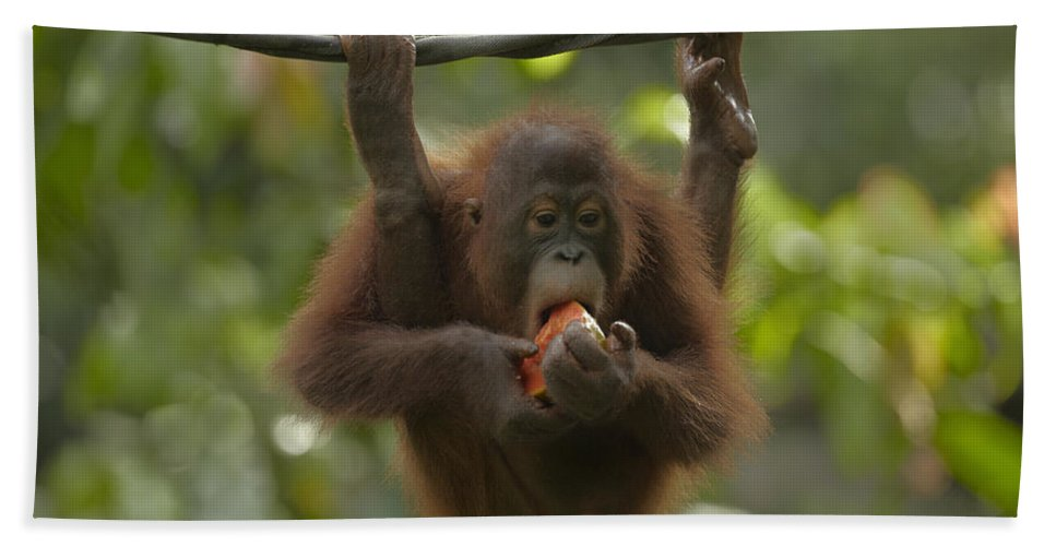 Mp Hand Towel featuring the photograph Orangutan Pongo Pygmaeus Young Eating by Tim Fitzharris