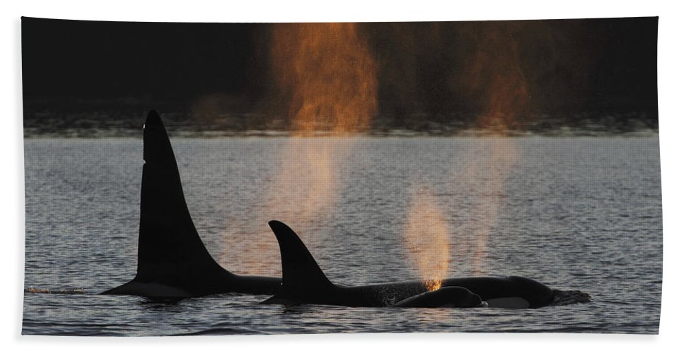 Mp Hand Towel featuring the photograph Orca Orcinus Orca Resident Pod by Hiroya Minakuchi