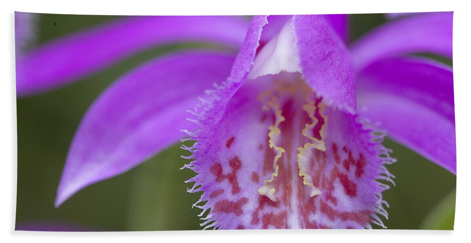 Vp Hand Towel featuring the photograph Orchid Pleione Bulbocodioides Flower by VisionsPictures