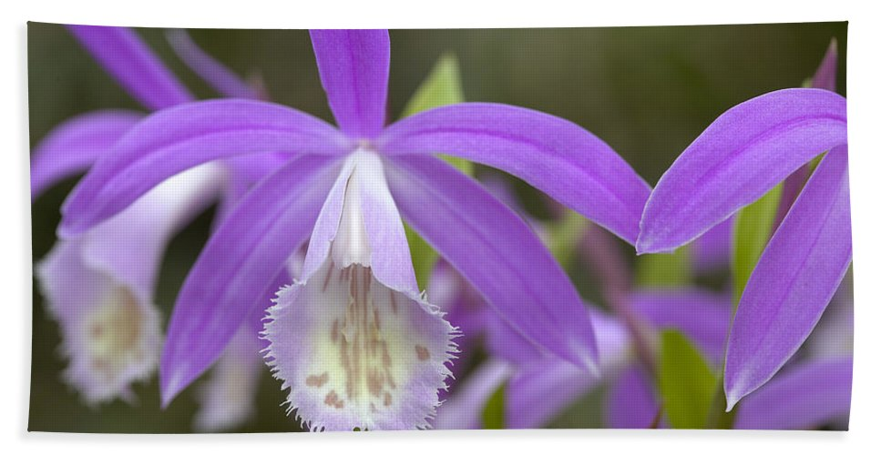 Vp Hand Towel featuring the photograph Orchid Pleione Formosana Flowers by VisionsPictures