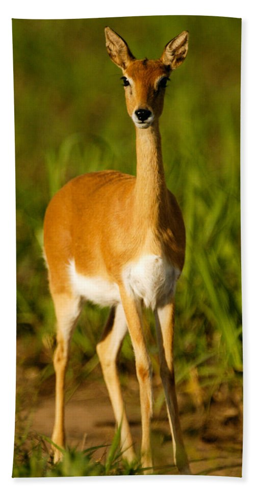 Action Hand Towel featuring the photograph Oribi Ewe by Alistair Lyne