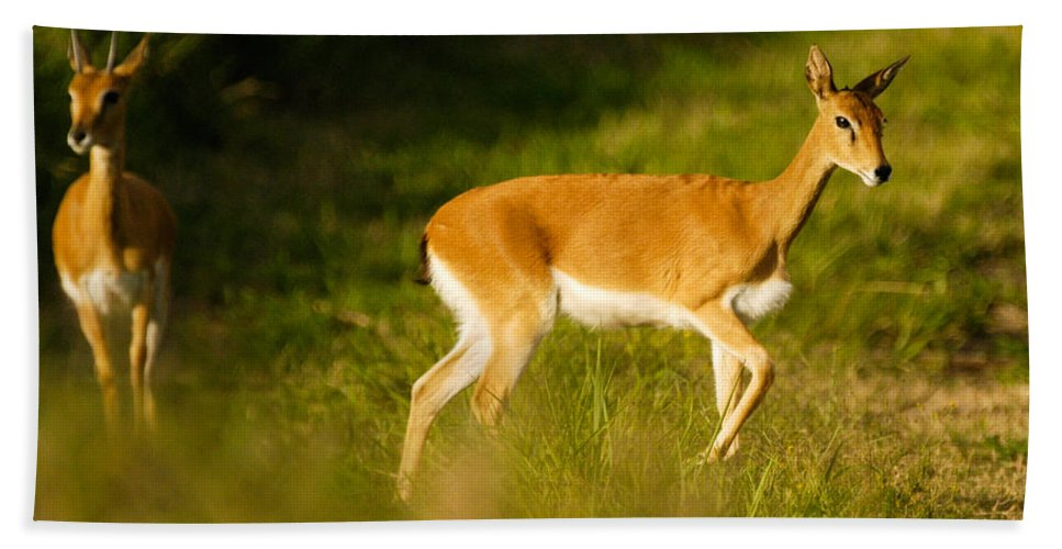 Action Hand Towel featuring the photograph Oribi Two by Alistair Lyne