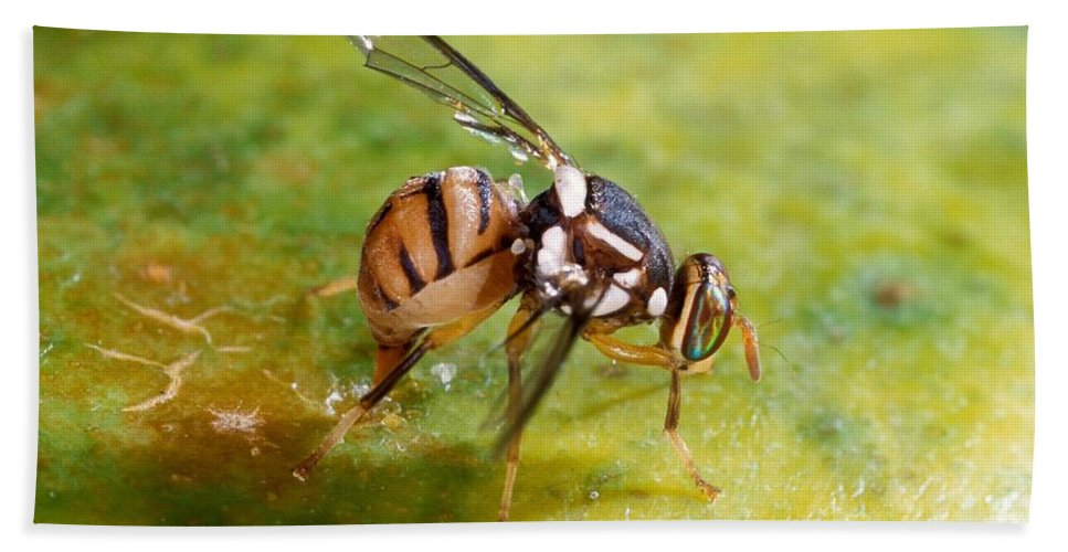 Animal Hand Towel featuring the photograph Oriental Fruit Fly Laying Eggs by Science Source