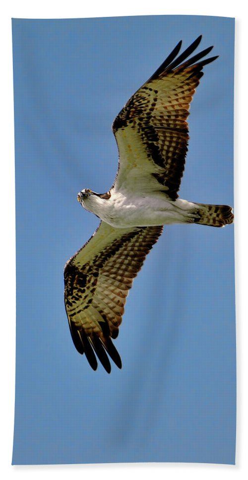 Osprey Bath Sheet featuring the photograph Osprey Above by Bill Dodsworth