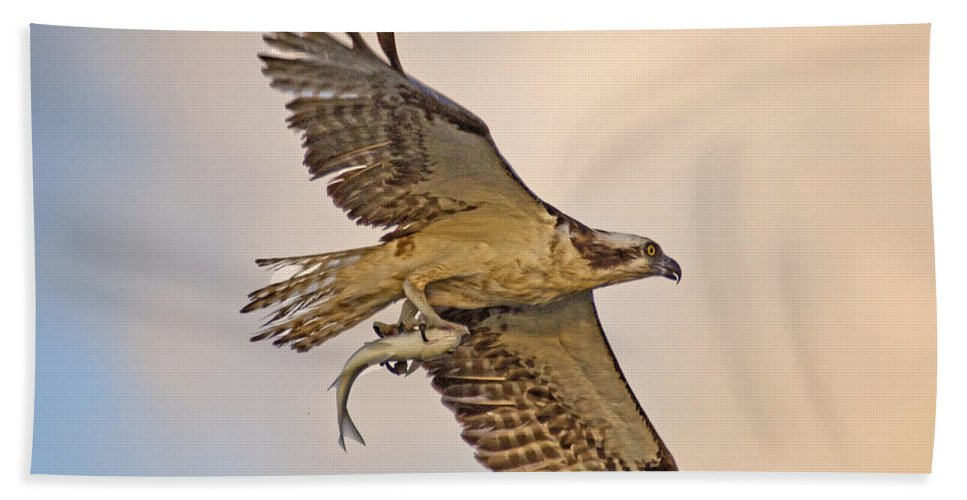 Osprey Bath Sheet featuring the photograph Osprey Catches Big Fish by TJ Baccari
