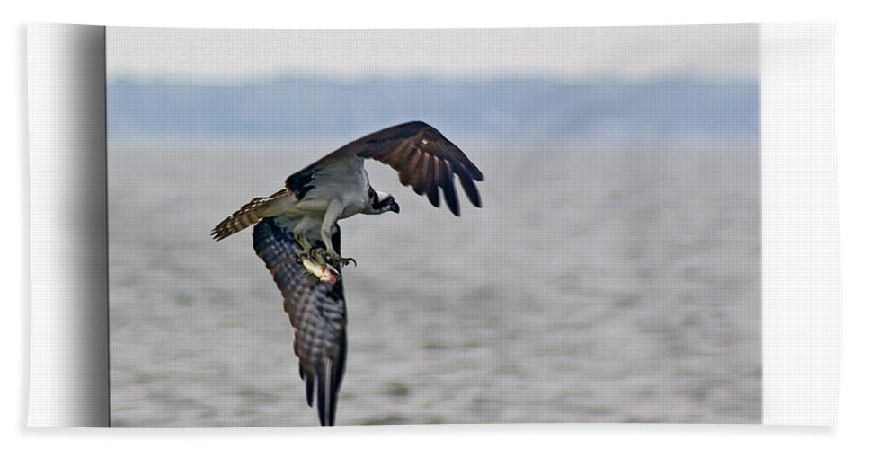 2d Bath Sheet featuring the photograph Osprey Grab by Brian Wallace