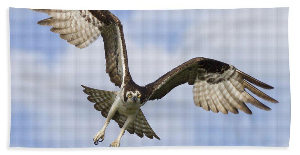 Florida Bath Sheet featuring the photograph Osprey In Flight One by Bill Swindaman