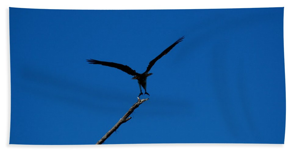 Osprey Bath Sheet featuring the photograph Osprey Landing by David Weeks