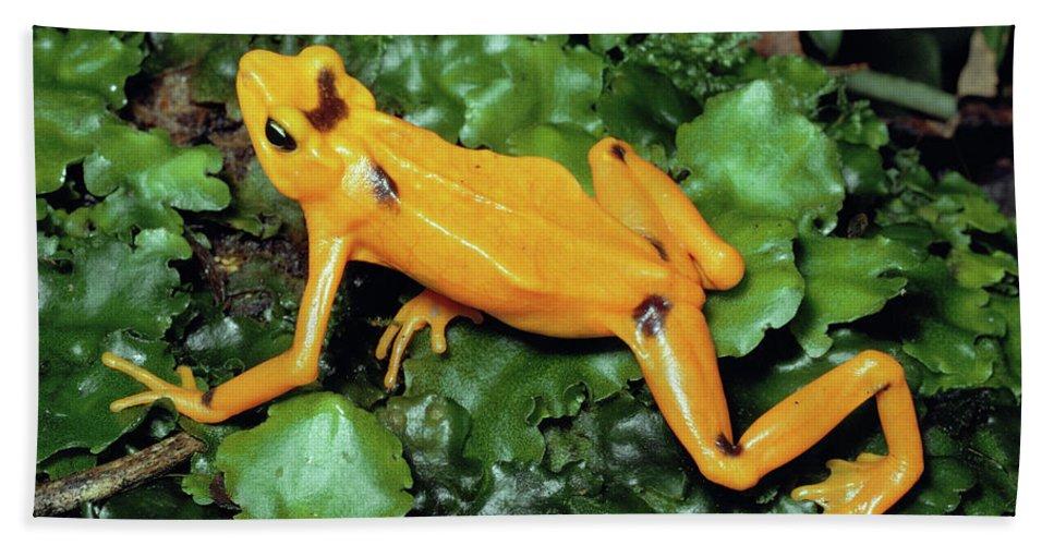 Mp Hand Towel featuring the photograph Panamanian Golden Frog Atelopus Zeteki by Michael & Patricia Fogden