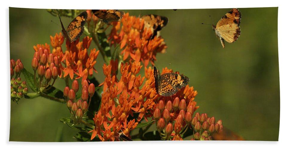 Pearly Crescentpot Butterfly Bath Sheet featuring the photograph Pearly Crescentpot Butterflies Landing On Butterfly Milkweed by Daniel Reed
