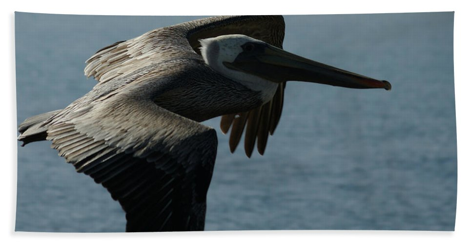 Brown Pelican Bath Sheet featuring the photograph Pelican Fly By by Ernie Echols